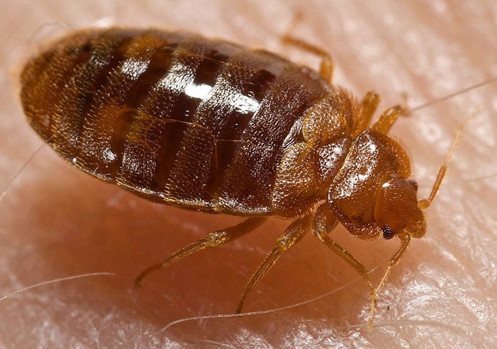 Bedbugs justcleanIT